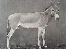 Nubian wild ass httpsuploadwikimediaorgwikipediacommonsthu