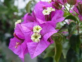 Nyctaginaceae httpsuploadwikimediaorgwikipediacommonsthu