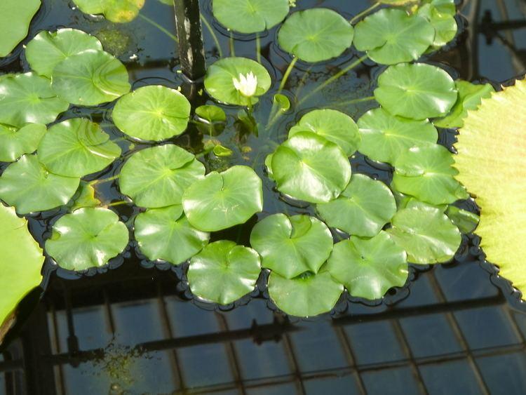 Nymphaea thermarum FileInteriors of Kew Gardens Water Lily House Nymphaea thermarum