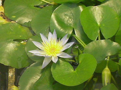 Nymphaea thermarum World39s Smallest Waterlily Saved From Extinction TreeHugger