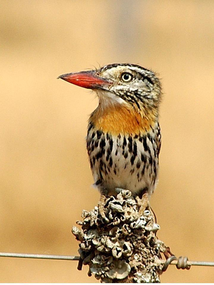 Nystalus wwwfaunaparaguaycomimagesNystalus20maculatus
