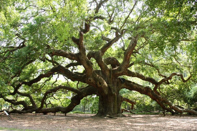 Oak Oak The meaning of the dream in which you see 39Oak39