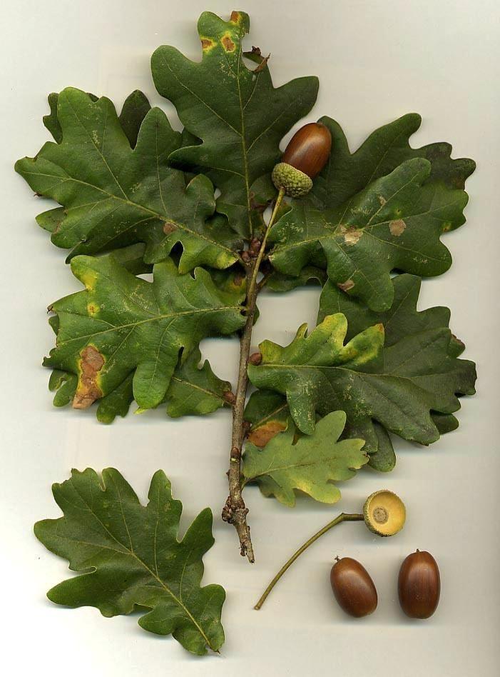 Oak Oak Wikipedia