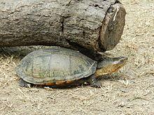 Oaxaca mud turtle httpsuploadwikimediaorgwikipediacommonsthu