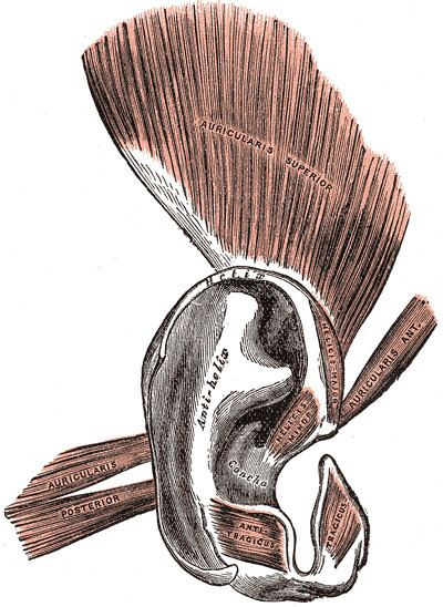 Oblique muscle of auricle