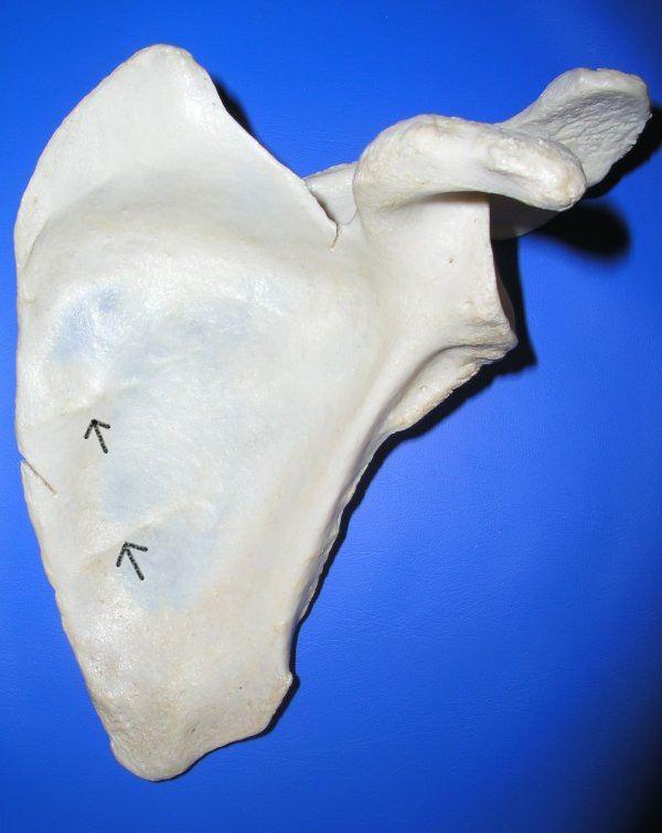 Oblique ridges of scapula