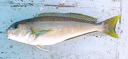 Ocean whitefish - Alchetron, The Free Social Encyclopedia - photo#30