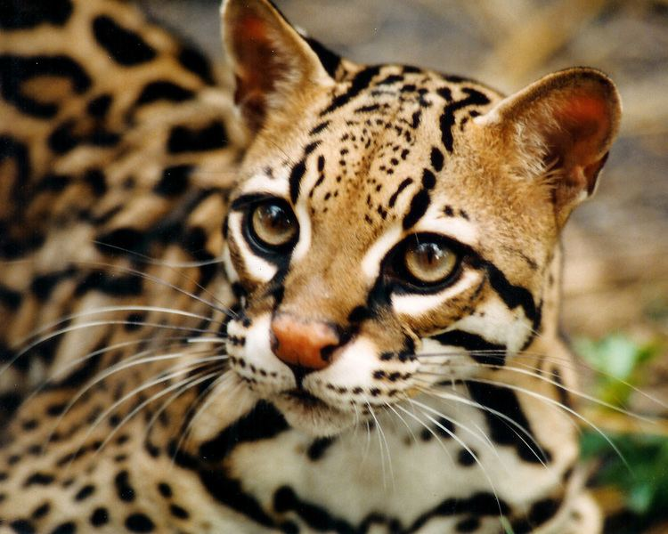 Ocelot Ocelot Facts History Useful Information and Amazing Pictures