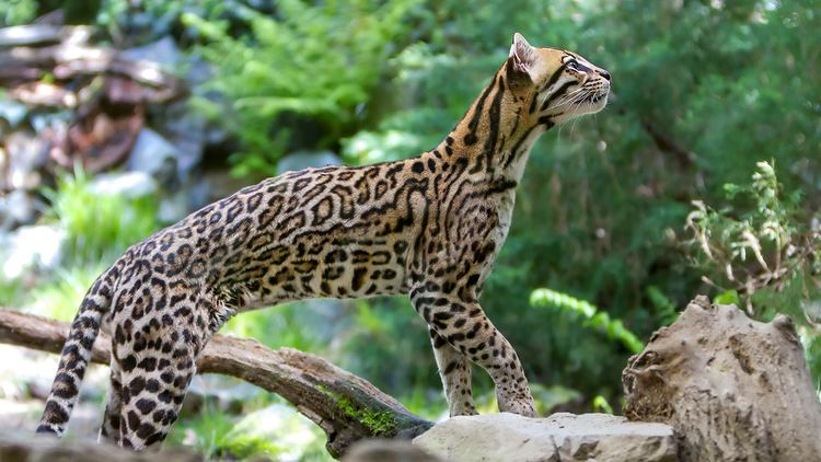 Ocelot Ocelot Facts and Pictures