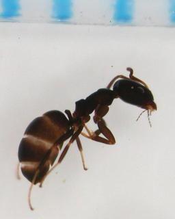 Ochetellus Ochetellus glaber Mayr 1862 Discover Life