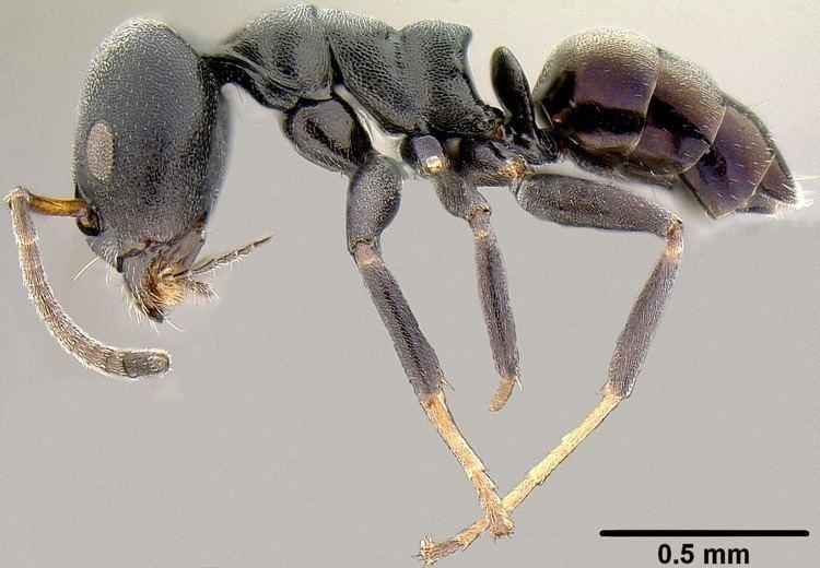 Ochetellus Ochetellus glaber group PIAkey factsheet