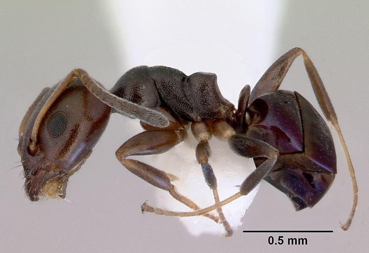 Ochetellus httpsuploadwikimediaorgwikipediacommonsbb