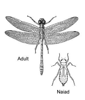 Odonata ENT 425 General Entomology Resource Library Compendium Odonata