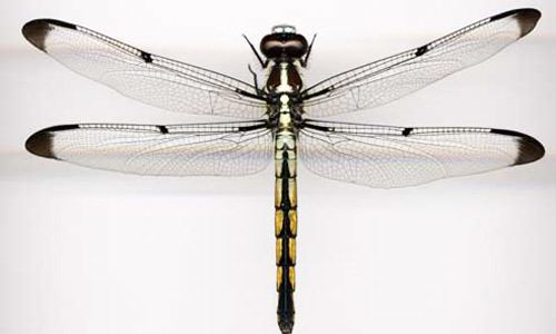 Odonata dragonflies and damselflies Odonata