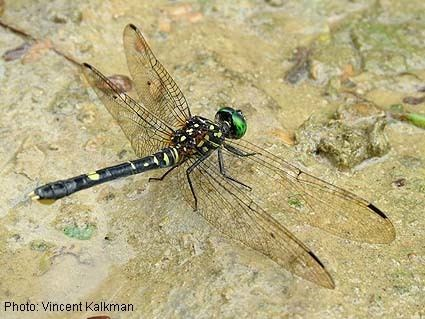 Odonata Papua Insects Foundation Odonata