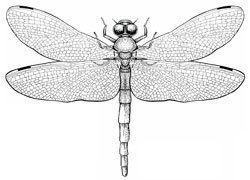 Odonata Insects Dragonflies amp Damselflies Odonata