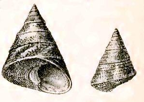 Odontotrochus chlorostomus