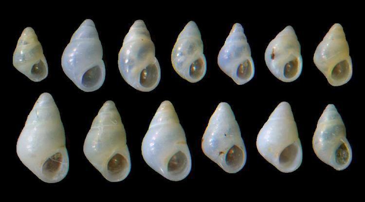 Odostomia AnimalBase Odostomia scalaris picture homepage