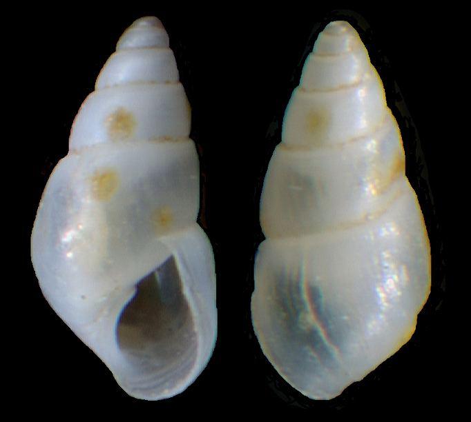 Odostomia AnimalBase Odostomia eulimoides species homepage