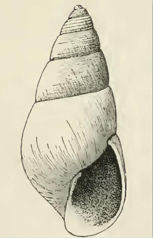 Odostomia thea