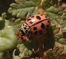 Oenopia conglobata httpsuploadwikimediaorgwikipediacommonsthu