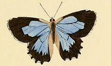 Ogyris amaryllis httpsuploadwikimediaorgwikipediacommonsthu