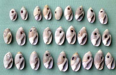 Olivella (gastropod) MOON SNAIL FEEDING DIETS amp GROWTH