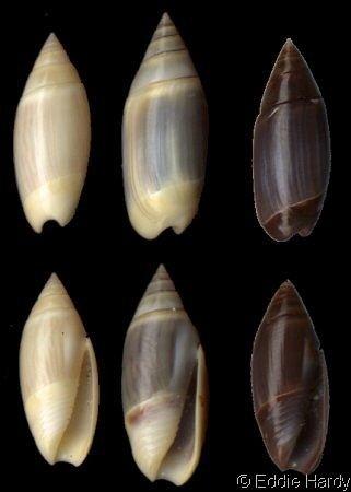 Olivella (gastropod) Olivella Lamprodoma volutella