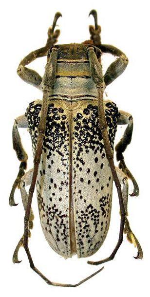 Oncideres Genus Oncideres Lacordaire 1830 Cerambycidae