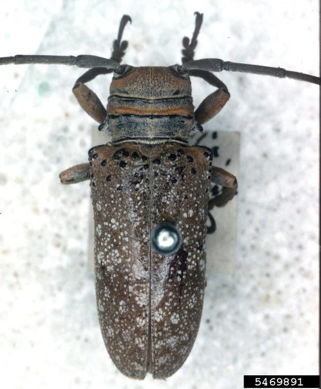 Oncideres twig girdler Oncideres saga Coleoptera Cerambycidae 5469891