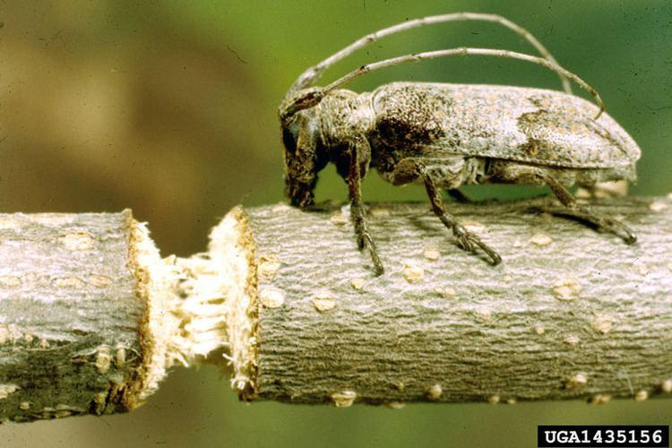 Oncideres twig girdler Oncideres cingulata Coleoptera Cerambycidae 1435156