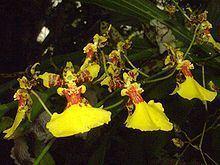 Oncidium lineoligerum httpsuploadwikimediaorgwikipediacommonsthu