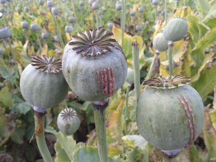 Opium Opium Farming How do they do it YouTube