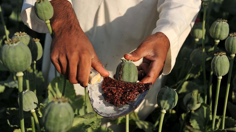 Opium Afghan Farmers Opium Is The Only Way To Make A Living Parallels NPR