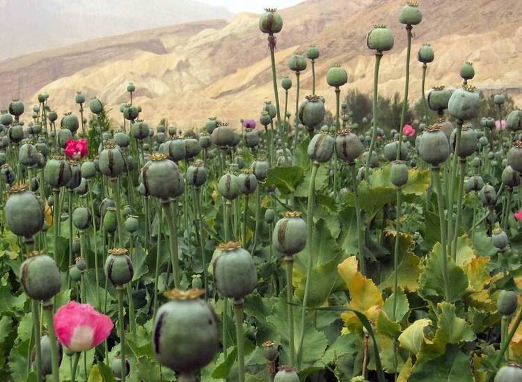 Opium The Golden Triangle What39s the Link Between Opium and Coffee in SE