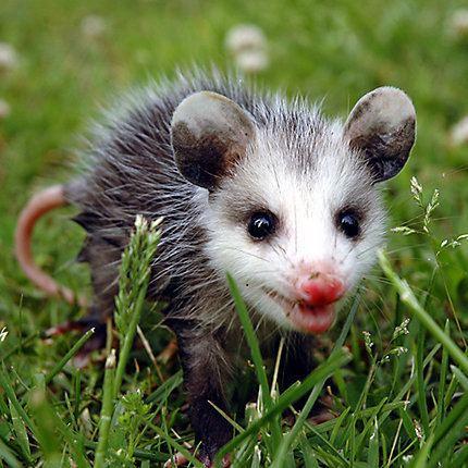 Opossum How to Get Rid of Opossums Opossum Removal Havahart US