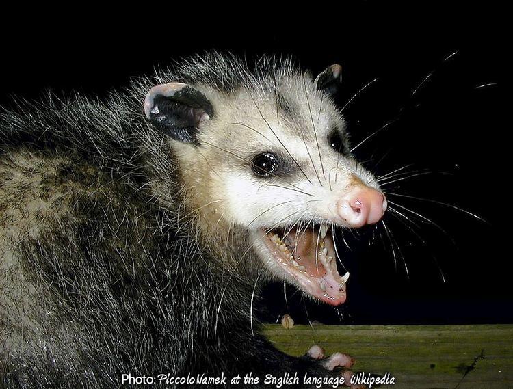 Opossum Opossums of New York