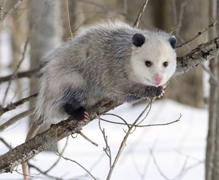 Opossum httpsuploadwikimediaorgwikipediacommons22