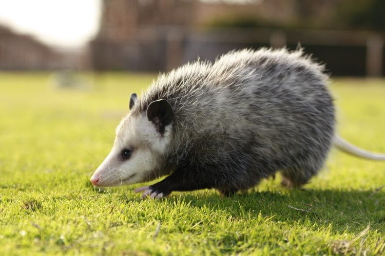 Opossum All About Opossums Wildlife Rescue and Rehabilitation