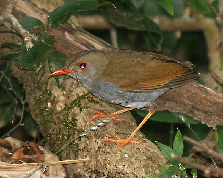 Orange-billed nightingale-thrush httpsuploadwikimediaorgwikipediacommons77