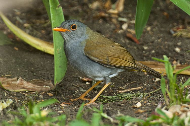 Orange-billed nightingale-thrush FileOrangebilled NightingaleThrush Panama H8O1767 16612451064