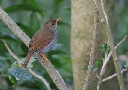 Orange-billed nightingale-thrush Orangebilled NightingaleThrush Catharus aurantiirostris Photo Image