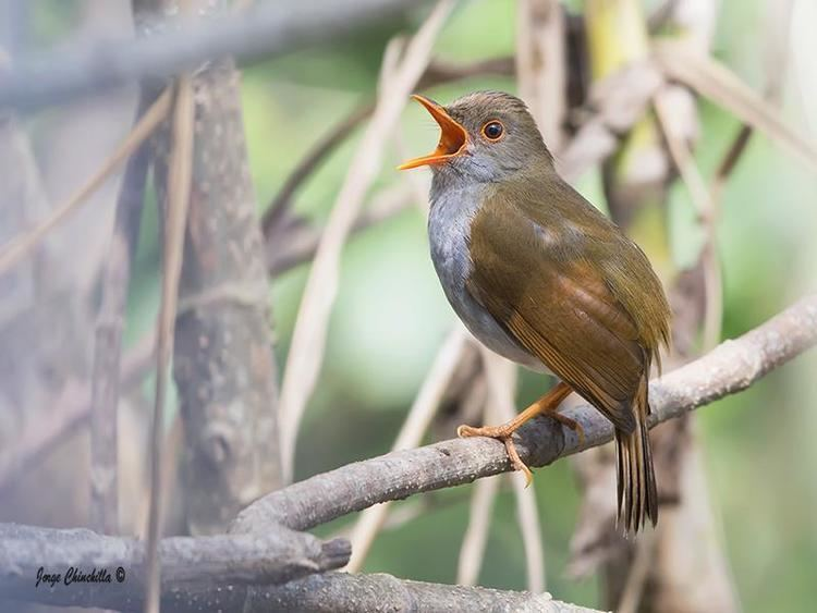 Orange-billed nightingale-thrush Orangebilled Nightingalethrush Catharus aurantiirostris videos