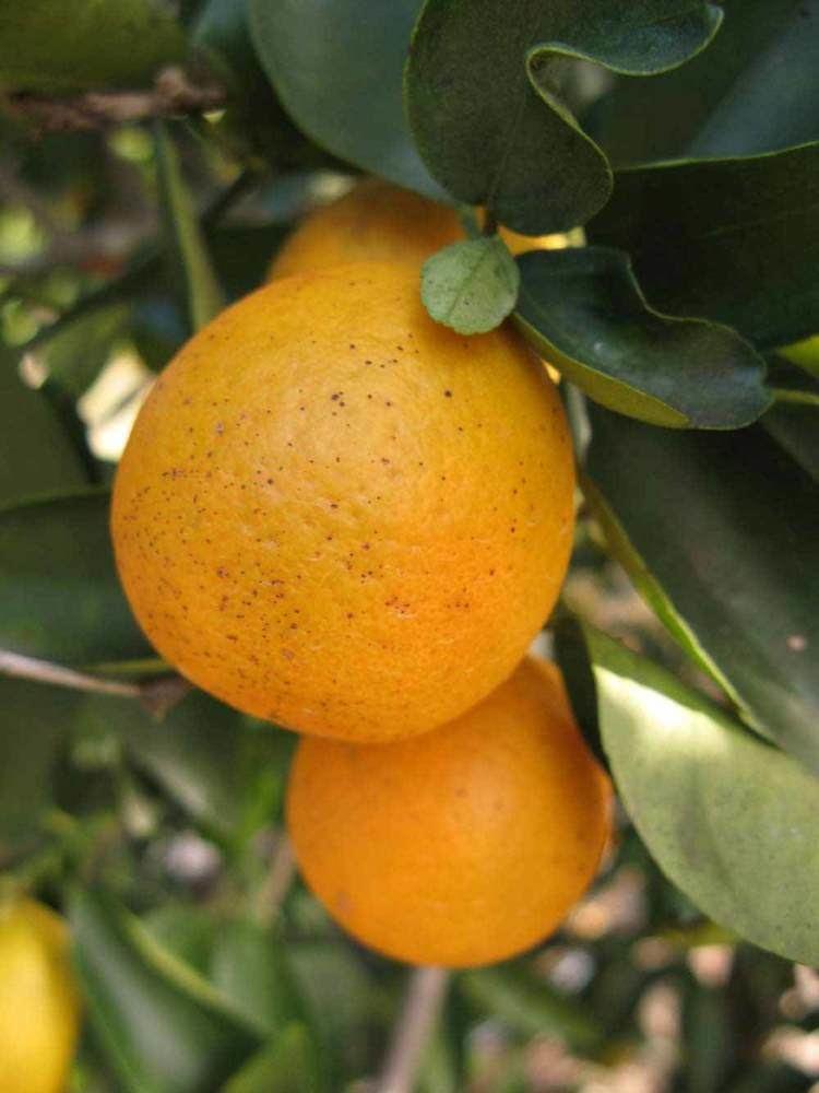 Orangequat idtoolsorgidcitruscitrusidimagesfsimagesOr
