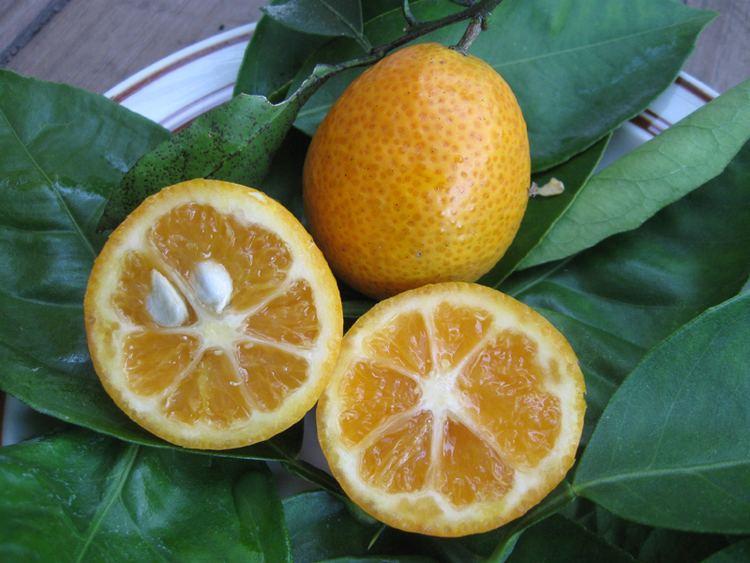Orangequat Citrus Orangequat Just Fruits and Exotics