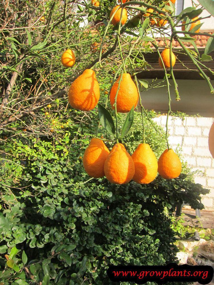 Orangequat Orangequat Growing Grow Plants