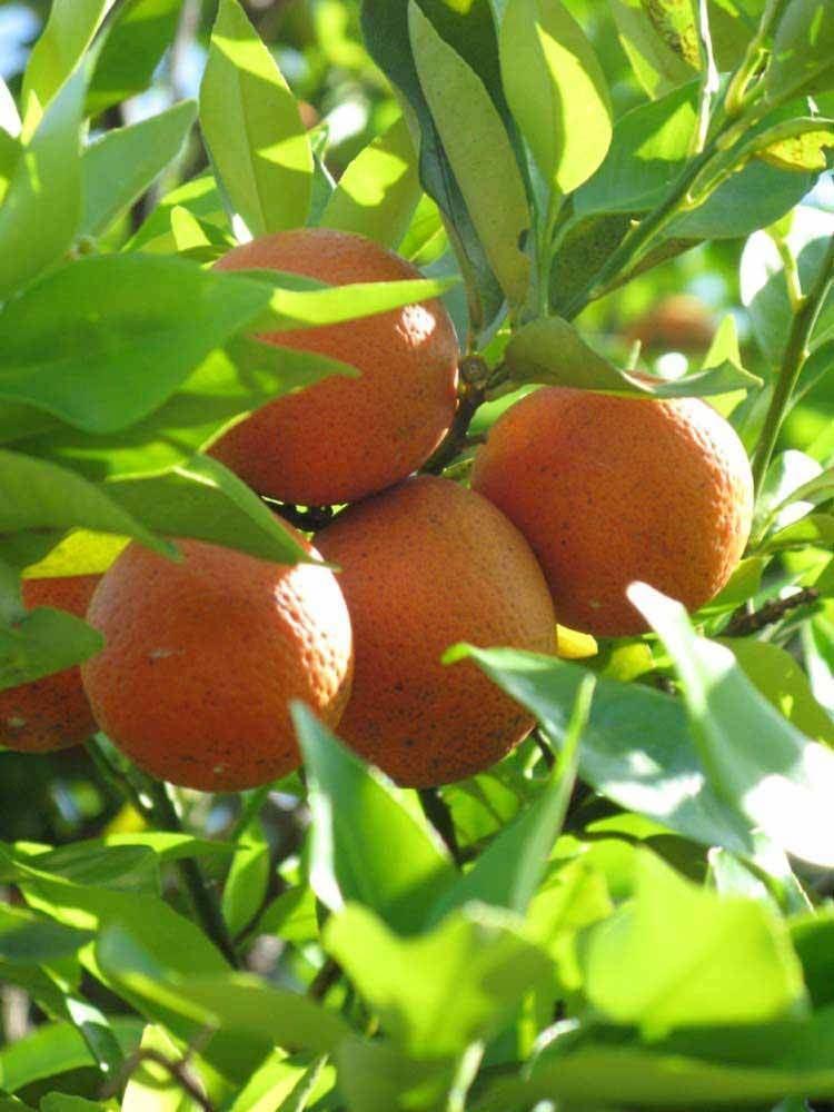 Orangequat Citrus ID Fact Sheet Orangequat
