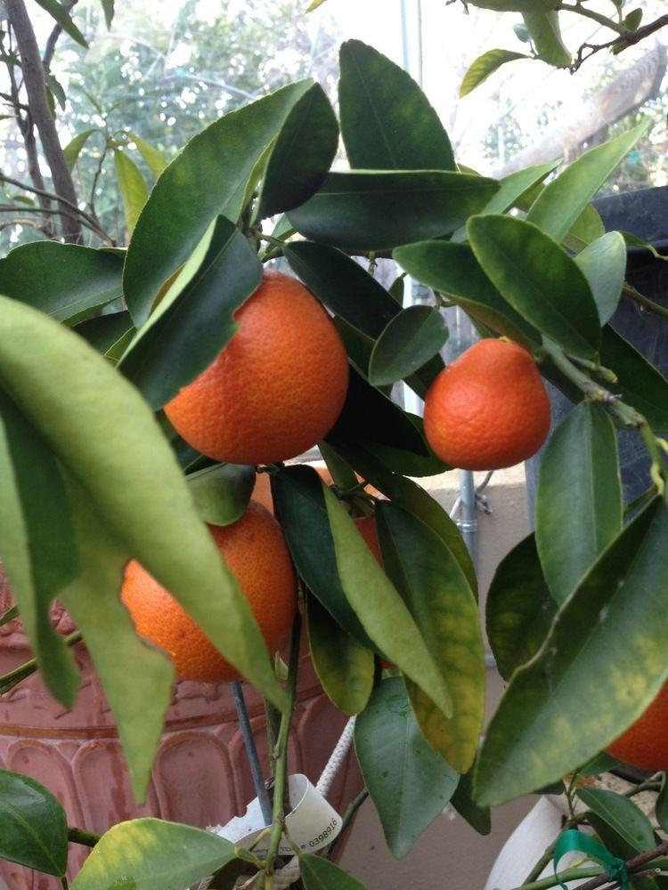 Orangequat Nippon Orangequat is a cross between a Satsuma mandarin and a Meiwa