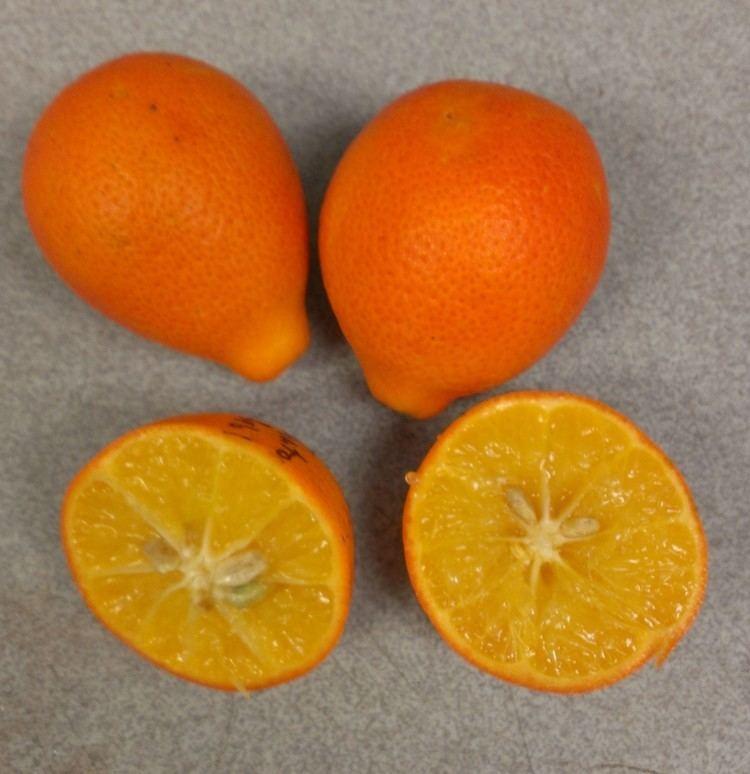 Orangequat Nippon Orangequat Your Garden Variety Scientist