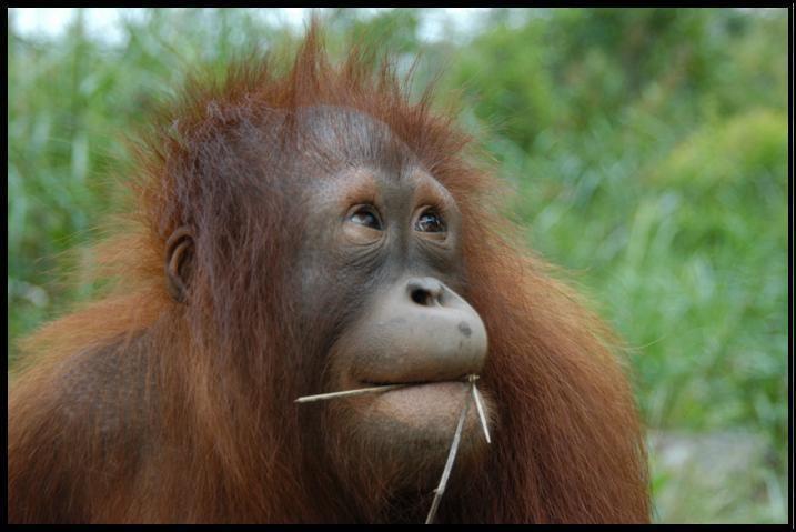 Orangutan Orangutan Facts Orangutan Conservancy